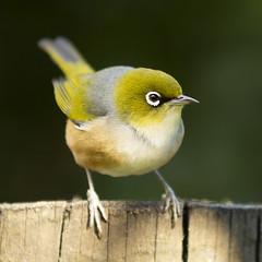 See, I look like a robin aye? (imajane) Tags: bird tauhou whiteeye newzealand wildlife 200mm cute green fresh winter garden feeding time mg1254tauhoucrsq