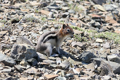 "Golden-mantled Squirrel • <a style=""font-size:0.8em;"" href=""http://www.flickr.com/photos/63501323@N07/28173068257/"" target=""_blank"">View on Flickr</a>"