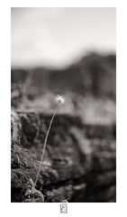 Solo (krishartsphotography) Tags: krishnansrinivasan krishnan srinivasan krish arts photography fineart fine art monochrome flower fort wall old ruin nature bokeh blur helios 58mm f2 lens manual affinity photo ranjangudi perambalur india 44