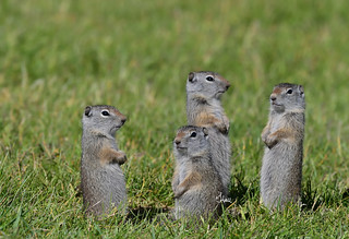 Did anyone see which way mom went? Young ground squirrels - 1127b+