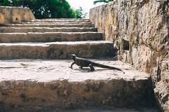 Reptile Alex) (dmitry.grishchak) Tags: mexico tulum reptile quintanaroo mx