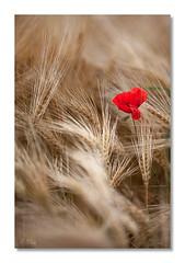 Dans les blés... (Blain Nicolas) Tags: coquelicots blé nblain nicolasblain blain campagne france