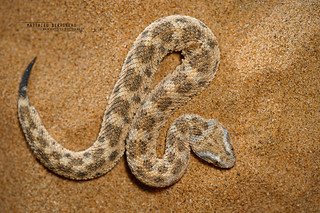 Vipère des sables Cerastes vipera