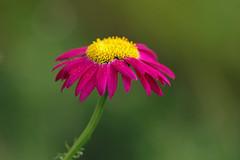 Lill (Jaan Keinaste) Tags: pentax k3 pentaxk3 eesti estonia loodus nature lill flower jupiter37a