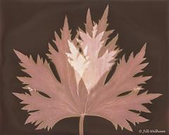 Delphinium leaf Lumen (Mirrored-Images) Tags: lumen delphiniumleaf alternativephotographicprocess cameraless analogue photogram sunprint
