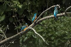Kingfisher Tree (mond.raymond1904) Tags: