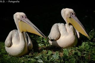 Pelikane / Pelicans