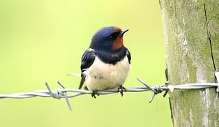 Swallow-
