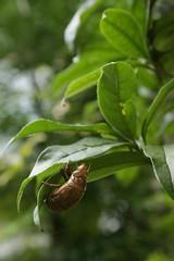 180720010 (murbozero) Tags: murbo japan cicada