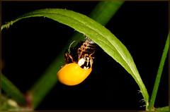 ladybird feeding on a larva (2) (bobspicturebox) Tags: himalayan balsam lady bird bugs slow worm musk beetle potato capsid shield bug larva snail fungus