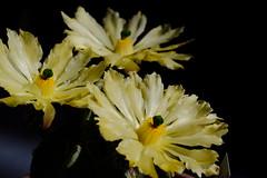 Flor de cactus (ameliapardo) Tags: floresdecactus cactus cactusysuculentas amarillo macro macrodeflores fujixt1 leicamacro60 sevilla andalucia españa