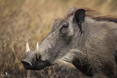 Warthog (pbmultimedia5) Tags: warthog serengeti national park savannah animal wild pig wildlife grassland eastern africa pbmultimedia phacochoerus africanus
