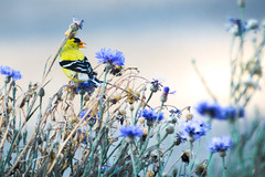 Little Bird (Joshuaww) Tags: spinustristis american goldfinch bird wild yellow flowers light tiny pretty cute wildbird wildlife idaho nampa canyoncounty boise caldwell kuna adacounty ada small feathers black white bachelorbuttons bachelor buttons flower blue purple joshua joshuaww photography