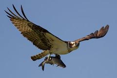 IMG_2045 Osprey with fish (cmsheehyjr) Tags: cmsheehy colemansheehy nature wildlife bird hawk fishhawk osprey rappahannock virginia pandionhaliaetus