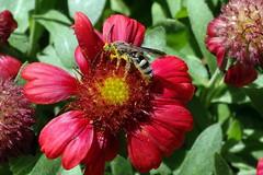 Leafcutter bee (Jim Atkins Sr) Tags: leafcutterbee bee megachile leafcuttingbee gaillardia gaillardiaaristatamesared macro closeup insect flower fairfieldharbour northcarolina sonyphotographing sony dschx20v