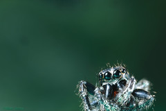 Jumping spider (Allan Jones Photographer) Tags: spider jumpingspider extrememacro macro eyes allanjonesphotographer canon5div canonmpe65mmf2815xmacro