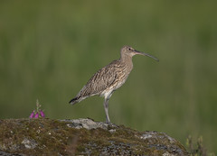 Curlew 2018-0556 (seandarcy2) Tags: curlew wader birds wildlife animals mull uk