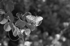 Gulf Fritillary (macromary) Tags: leicaflexsl leica leitz leicaflex slr primelens vintage camera manual film bw blackandwhite florida nature rodinal macro 60mm elmarit monotone palmbeachcounty naturepreserve gulffritillary kentmere kentmerefilm kentmere100 butterfly naturetrail 60mmelmarit macrolens agraulisvanillaelinnaeus agraulisvanillae johnprincememorialpark lakeworth wings markings