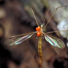 Long-beaked Limoniid Cranefly (treegrow) Tags: rockcreekpark washingtondc nature lifeonearth raynoxdcr250 arthropoda insect diptera fly elephantomyiawestwoodi taxonomy:binomial=elephantomyiawestwoodi limoniidae