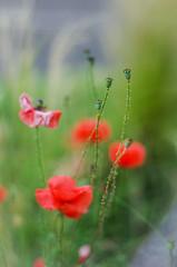IMGP2484 (angel.doychinov) Tags: smc pentaxm 50mm k5 bokeh nature flower pentaxart manualfocus oldlens poppy smcpm50mmf14