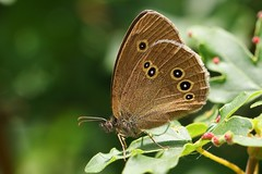 Ringlet 060718 (2) (Richard Collier - Wildlife and Travel Photography) Tags: butterflies wildlife naturalhistory nature insects britishinsect british macro closeup ringlet