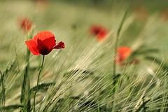 All the colors of the world (Nicky@Photography) Tags: nature fleur coquelicot céréale contrejour mornant rhône france