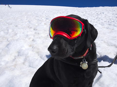Climber dog (Sergiy Matusevych) Tags: dog goggles cool climbing mountaineering mount mt adams wa washington cascades summit