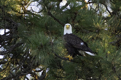 Watching (Peter Stahl Photography) Tags: baldeagle eagle birdofprey