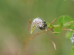 Cerceris arenaria  femelle (Iyp-tala) Tags: cerceris arenaria femelle menthe
