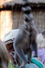 Pairi Daiza 3_2018_07_14_(58) (Juergen__S) Tags: belgium belgien belgique brugelette pairidaiza park panda pelican animals jousting feeding lemur african dance dancers tiger portrait