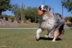 It's the simple things in life (Jasper's Human) Tags: aussie australianshepherd dog run ball chuckit