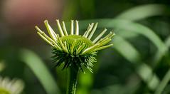 Rebecca (KPPG) Tags: 7dwf flora faded flower blume bokeh