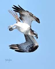 _K8A0463 (pete#1) Tags: osprey fish ocean island vancouver dive fast