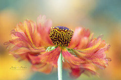 Helenium Flow (Jacky Parker Photography) Tags: helenium sneezeweed flower orange summer2018 summerflower summergarden beautyinnature floatypetals orangeflower copyspace horizontal freshness fragility vibrant sunlight summertime closeup selectivefocus imagefocustechnique nikond750