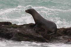 Galapagos Sea Lion - Zalophus wollebaeki - Isla Isabela, Galapagos, Ecuador - July 7, 2018 (mango verde) Tags: galapagossealion zalophuswollebaeki otariidae earedseals zalophus wollebaeki seal sealion mammal puertovillamil islaisabela galapagos ecuador mangoverde