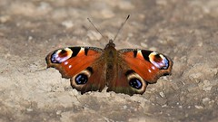 Peacock Butterfly (doranstacey) Tags: nature wildlife insects butterfly peacock tamron 150600mm nikon d5300 macrophotography macro