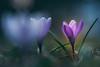 Behind (--StadtKind--) Tags: stadtkind primelens manuallens manual sonyalpha fleur flower bokehlicious bokehaddicts bokehmasters bokeh