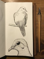 Mourning Dove (EJ Kipp) Tags: illustration natureart ornithology sketch notebook midoritravelersnotebook dippen penandink ink crosshatching art birdart bird dove mourningdove