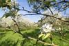 Springtime (dejongbram) Tags: springtime kasteeldoorwerth orchard flower outside sun landscape green plant blossom trees leafs wideangle dof nikond500 glk gelderland sky tree