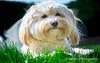 Poppy in the Sun (sidrog28) Tags: poppy dog havanese sun summer hot content