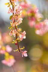 Crab Apple Blossoms (mclcbooks) Tags: flower flowers floral macro closeup apple tree blossoms spring denverbotanicgardens colorado