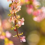 Crab Apple Blossoms thumbnail