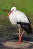 White Stork (eric-d at gmx.net) Tags: whitestork weisstorch stork storch eric wildlife