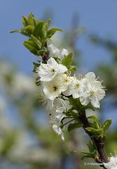 Bloesem (ditmaliepaard) Tags: bloesem blossom boom tree lente spring blauwelucht opdefiets