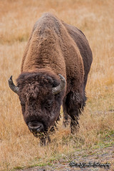 Yellowstone National Park (M.J. Scanlon) Tags: 20d animal camera canon capture cold digital image mjscanlon mjscanlonphotography mojo nationalpark nature outdoor outdoors outside park photo photog photograph photographer photography picture scanlon scenic wild wilderness wow wyoming yellowstone yellowstonenationalpark ©mjscanlon ©mjscanlonphotography buffalo bison tatanka