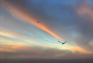 Para Glider and bird