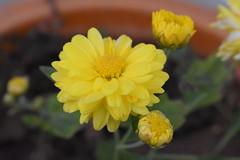 Marigold (wikideepia) Tags: marigold flower garden rooftop flowerpot