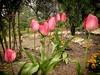 Tulipanes, Casa de Campo (Carlos SGP) Tags: madrid comunidaddemadrid españa es tulipan tulipanes flower flowers flor flores fleur flora jardin parque casadecampo jardín xiaomi movil