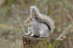 IMGP3224c Grey Squirrel, Barnwell C.P., March 2018 (bobchappell55) Tags: northamptonshire wild wildlife nature greysquirrel sciuruscarolinensis mammal barnwellcountrypark