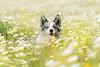 Roa (jonbuntu) Tags: bordercollie perros dog pastor azulmirlo bluemerle mascota animales perro